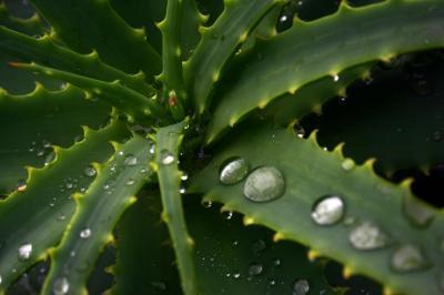 aloe-arborescens-aloeforever.jpg